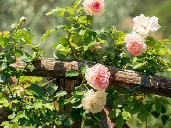 Elciarelli-roses